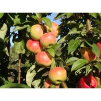 Колоновидная яблоня «Луч»