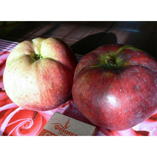 Колоновидная яблоня «Медуница»