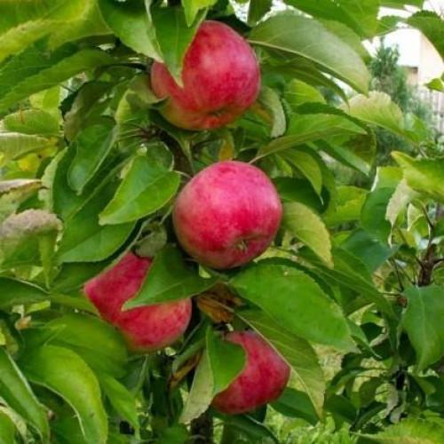 """Колоновидная яблоня """"Обелиск"""""""