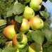 Колоновидная яблоня «Приокское»