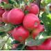 Колоновидная яблоня «Талисман».
