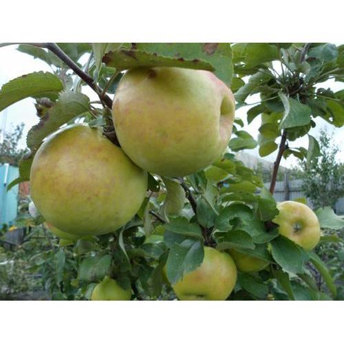 Колоновидная яблоня «Янтарное ожерелье».