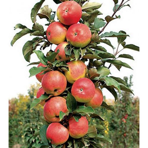 Колоновидная яблоня «Триумф»