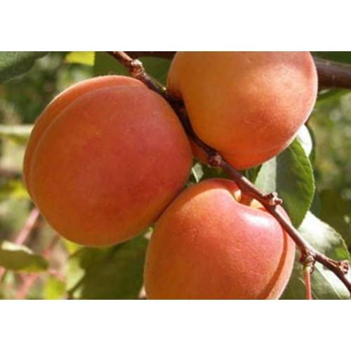 Колоновидный абрикос Цунами
