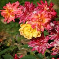 Роза миниатюрная «Беби Маскарад»