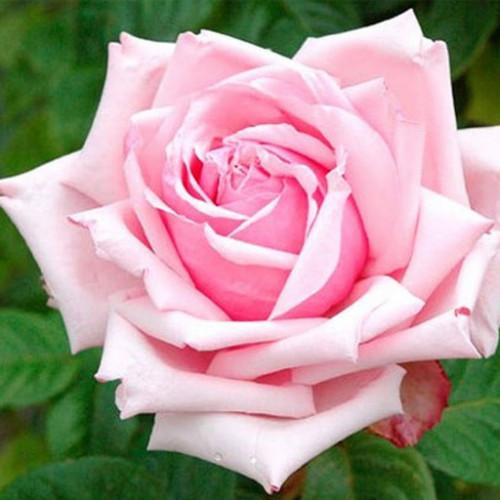 Роза кустовая «Дезире»
