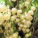 Смородина белая «Баяна»