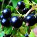 Смородина черная «Черешневая»