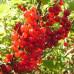 Смородина красная «Голландская красная»