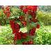 Смородина красная «Красный крест»