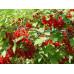 Смородина красная «Мечта»