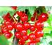 Смородина красная «Нива»