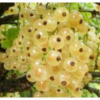 Смородина белая «Потапенко»