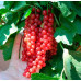 Смородина красная «Щедрая»
