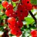 Смородина красная «Версальская красная»