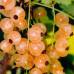 Смородина белая «Виноградная»