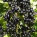 Смородина черная «Зеленая дымка»