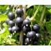 Смородина черная «Багира»