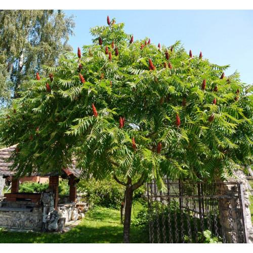 Сумах оленерогий (или Пушистый, Уксусное дерево)