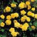 Роза плетистая «Голден Клаймбер»