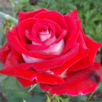 Роза кустовая «Альянс»