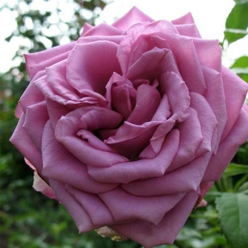 Роза кустовая «Кул Ватер»