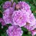 Роза кустовая «Блю Бой»