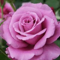 Роза кустовая «Холодная Вода»