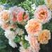 Роза плетистая «Полька»