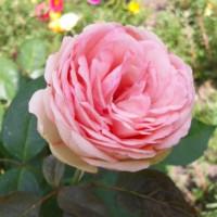 Роза английская «Пиано Хеппи»