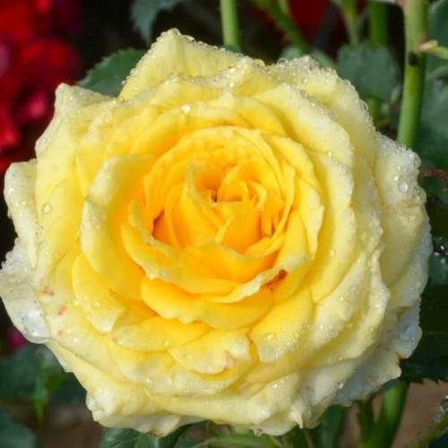Роза кустовая «Диана»
