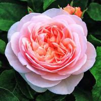 Роза английская «Джульетта»