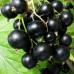 Смородина черная «Бинар»