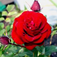 Роза кустовая «Торнадо»