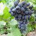 Виноград «Северный»