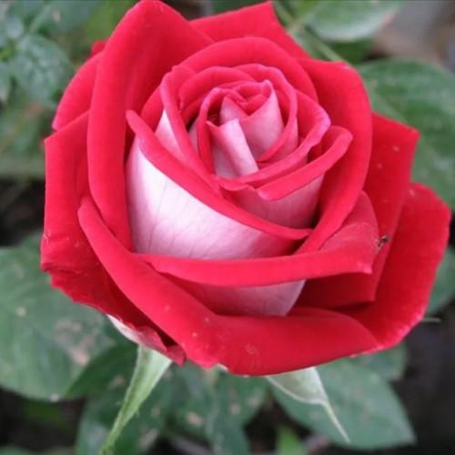 Роза кустовая «Николь»
