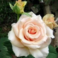 Роза кустовая «Примадонна»