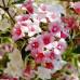 Вейгела цветущая Нана Вариегата