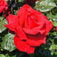 Роза кустовая «Гранд Аморе»