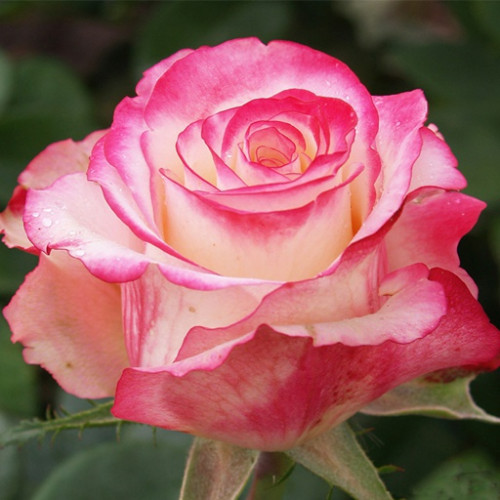 Роза кустовая «Свитнес»