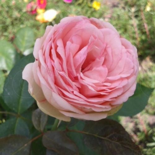Роза кустовая «Пиано Чарминг»
