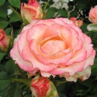 Роза кустовая «Дуэт»