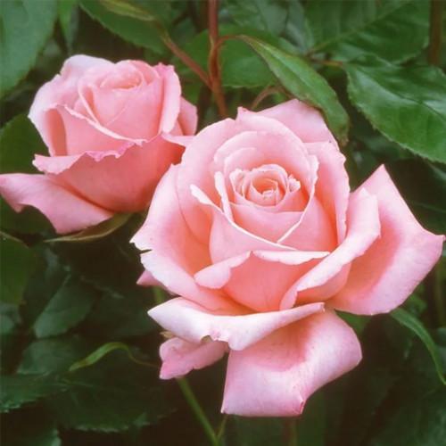 Роза кустовая «Хай энд Мия»