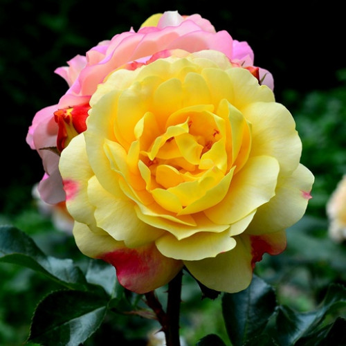 Роза кустовая «Лампион»