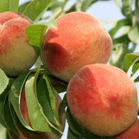 Персик «Золотой Юбилей»