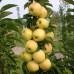 Колоновидная яблоня «Искорка»