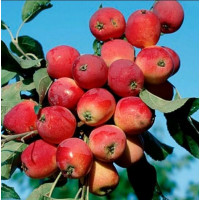 Колоновидная яблоня «Китайка красная»