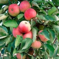 Колоновидная яблоня «Кумир»