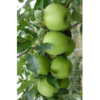 Колоновидная яблоня «Лукомор»