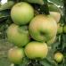 Колоновидная яблоня «Таскан»